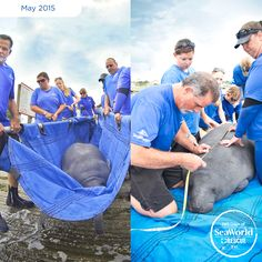 SeaWorld Orlando's Animal Rescue Team returned a male manatee after a successful rehabilitation. He was found suffering from injuries from a watercraft strike. Through the use of antibiotics and nutritional assistance, the manatee was able to gain the weight and strength he needed to be returned to the wild! #365DaysOfRescue