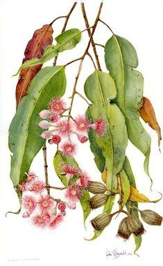 DVD 7: Botanical illustration volume 3   Helen Fitzgerald - Botanical & Wildlife artist   Helen Fitzgerald