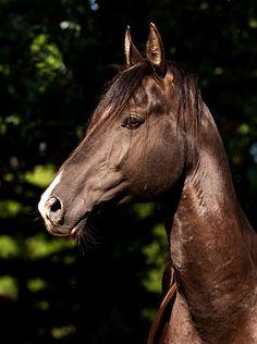 Akhal-Teke stallion Murgab