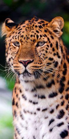 Amur leopard - a very endangered species
