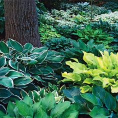 Hostas, love my hosta/fern shade gardens.