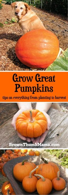 Organic Vegetable Gardening It's easy to grow and harvest perfect pumpkins—whether you want tiny, decorative pumpkins, giant, prize-winning pumpkins, or jack-o-lanterns for carving. Organic Vegetables, Growing Vegetables, Growing Plants, Organic Gardening Tips, Vegetable Gardening, Gardening Blogs, Bountiful Harvest, Autumn Garden, Pumpkin Garden