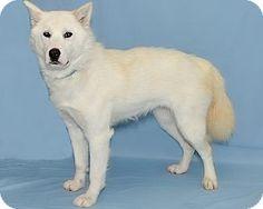 Husky/Samoyed Mix Dog for adoption in Gatineau, Quebec - Mango