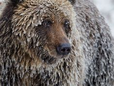 A grizzly bear wears a coat of ice in Canada's Yukon. Photo credit: Paul Nicklen