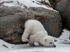 Toronto Zoo polar bear cub, Juno, shows off for camera Baby Polar Bears, Cute Polar Bear, Grizzly Bears, Baby Bear Cub, Cute Bears, Nature Animals, Animals And Pets, Wild Animals, Cute Baby Animals