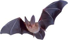 Big-eared bat - flying