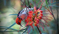 Red Headed Honeyeater by Australian Geographic