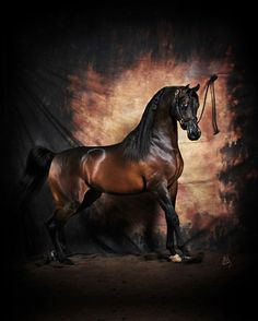 What a beauty! National Champion Pyro Thyme SA - Argent Farms Stuart Vesty Photography