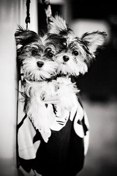 Morkie twin puppies.
