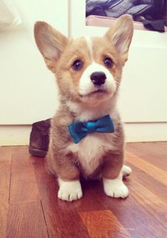 Corgi puppy in a bow tiiiiieeeee!!!!