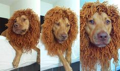 You Can Knit This Lion's Mane for Your Dog for Less Than $5: The Lion's Mane Knitting