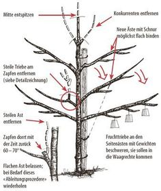 Fruit tree pruning - the 10 most important tips and rules- Obstbaumschnitt – die 10 wichtigsten Tipps und Regeln Fruit tree pruning culture guide cherry - Pruning Fruit Trees, Tree Pruning, Gardening Supplies, Gardening Tips, Cherry Fruit Tree, Cherry Cherry, Short Plants, Fruit Painting, Bonsai