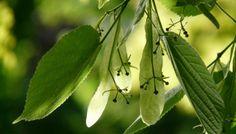 Lindenblätter/Blüten Räucherwerk