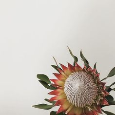 The Protea flower holds my heart~
