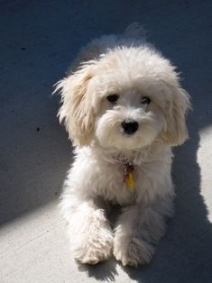 Maltipoo.... holy cow this looks just like my dog penny