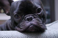 French Bulldogs (especially the black ones) http://media-cache9.pinterest.com/upload/258112622363190433_8MGD2i6I_f.jpg  balladmaiden stuff that makes me happy