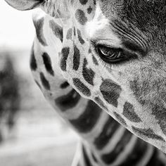 Giraffe close up.this is honestly the sickest picture I've ever seen of a giraffe!really captures the moment! Beautiful Creatures, Animals Beautiful, Beautiful Eyes, Hello Beautiful, Pretty Eyes, Beautiful Pictures, Beautiful Eyelashes, Pretty Baby, Animal Kingdom