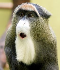 De Brazza's Monkey at Everland Resort Zoo, Korea. De Brazza's monkey (Cercopithecus neglectus) is an Old World monkey endemic to the wetlands of central Africa. Photograph by In Cherl Kim (floridapfe, via Flickr)