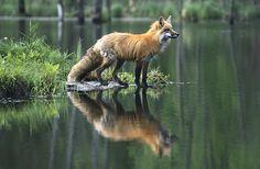 beautiful-wildlife:  Red Fox