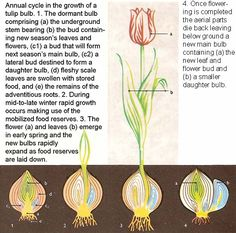 cross section of a tulip bulb tulips pinterest tulip. Black Bedroom Furniture Sets. Home Design Ideas