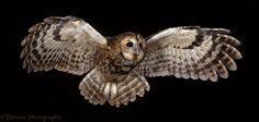 24 espécies de corujas que vão te impressionar - Mega Curioso