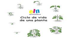 Fichas educativas para aprender y comprender el ciclo de vida de las plantas. Sencilla forma de explicar el proceso del ciclo de vida de las plantas