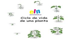 Fichas para aprender el ciclo de vida de las Plantas.