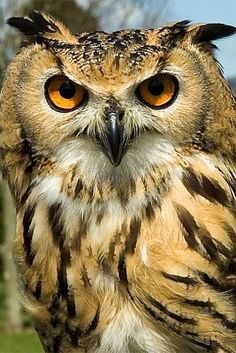 Indian Eagle Owl (Bubo bengalensis)
