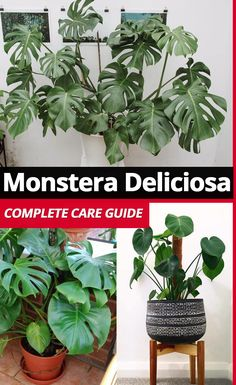 Awesome Care Guide with tips and tricks for growing your little (or big) Monstera deliciosa (Swiss Cheese Plant)! #houseplants #monstera