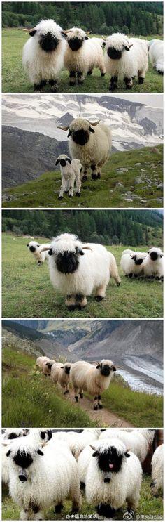 Valais blacknose sheep! I love them, they're so adorable!!!