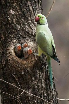 "Many birds, such as these Parrots and Owls make their nests in holes found in trees from old wooden ""knits"", or holes drilled/ prepared by Woodpeckers, or in still standing old tree stumps. They still must prepare their own nest inside to hold and protect and warm their eggs and families !"