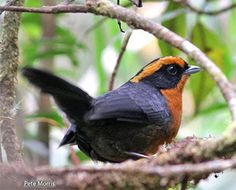 Rufous-browed Hemispingus (Hemispingus rufosuperciliaris) Hemispingus are a diverse group of small, largely insectivorous Andean tanagers. Rufous-browed Hemispingus is a large hemispingus with slaty upperparts, a broad tawny rufous, supercilium and slightly paler tawny rufous underparts.