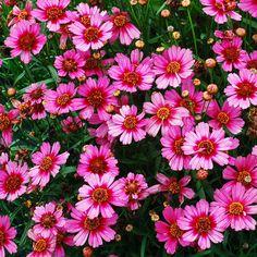 Coreopsis 'Garnet' - 12 Gorgeous Coreopsis Varieties - Sunset