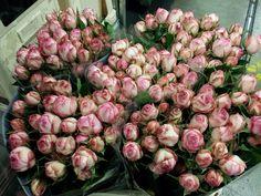 #Rose #Sprayrose #LovelyRococo; Available at www.barendsen.nl