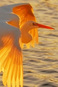 egret at sunset - pismo beach, california by cristina