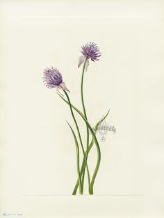 """Antique prints of """"Siberian Onion"""" from Walcott North American Wild Flowers 1925"""