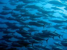 Bluefin Tuna dispersal tracked for the first time