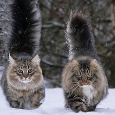 One a Norwegian and the other a Maine Coon? They're beautiful One a Norwegian and the other a Maine Coon? Pretty Cats, Beautiful Cats, Animals Beautiful, Gatos Maine Coon, Maine Coon Cats, Baby Animals, Funny Animals, Cute Animals, Animals Images