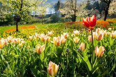 Die Blumeninsel Mainau im Frühling