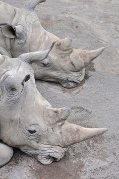 White Rhinoceros (by Truus & Zoo)