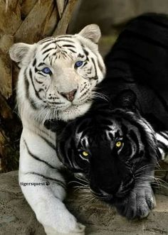 White Tiger and Black Panther - two of my favorite big cats Animals And Pets, Funny Animals, Cute Animals, Pretty Animals, Nature Animals, Wildlife Nature, Wild Life Animals, Funny Cats, Beautiful Creatures