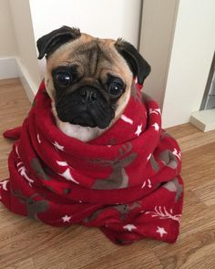 Cute Animals Wallpaper For Android Phone Puppies And Kitties, Pug Puppies, Doggies, Baby Pugs, Super Cute Animals, Cute Pugs, Funny Pugs, Dog Rules, Pug Love
