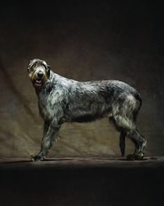 Irish Wolfhound LOVE these dogs!!!!