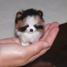 Teacup Pomeranian - Oh. My. Goodness :)