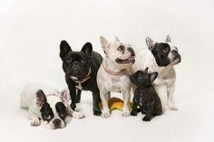 doggydoggydoggydoggypuppy by Tatu Ollanketo, via Flickr Frenchies