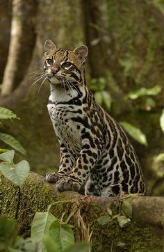 "beautiful-wildlife: "" Ocelot (Leopardus pardalis) """