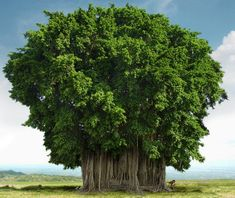 banyan-tree http://www.indiadivine.org/sacred-trees-in-hinduism/