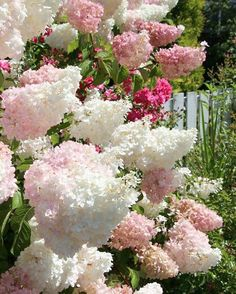 Vanilla Strawberry Hydrangeas