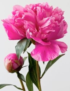 Peonies, one of my favorite flowers Amazing Flowers, Beautiful Roses, Pink Flowers, Beautiful Flowers, Peonies Garden, Pink Peonies, Flower Photos, Trees To Plant, Watercolor Flowers
