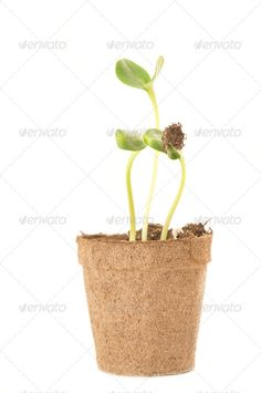 Sunflower seedling in a brown pot of peat ...  Nurture, agriculture, background, beginning, botany, concept, conceptual, cultivated, development, dirt, earth, ecology, environment, flora, fragile, fresh, garden, gardening, green, ground, grow, growing, growth, hold, hope, isolated, leaf, life, natural, nature, new, organic, plant, sapling, season, seed, seedling, small, soil, spring, sprout, tree, up, white, white background, young